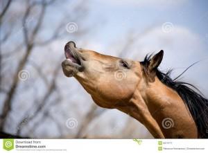 quarter-horse-stallion-sniffing-5074777